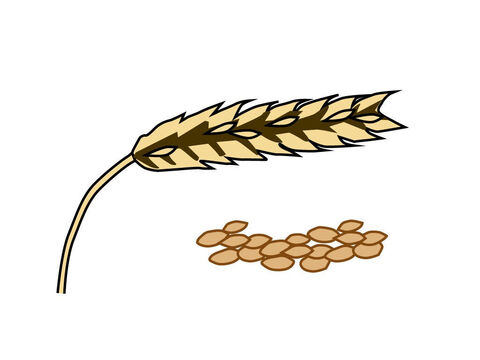 The corn was beaten out of the full ears. – Slide 13