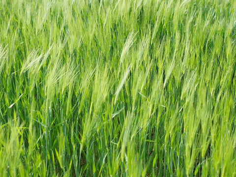 When the wheat crop began to grow, the tares grew among them too. – Slide 5