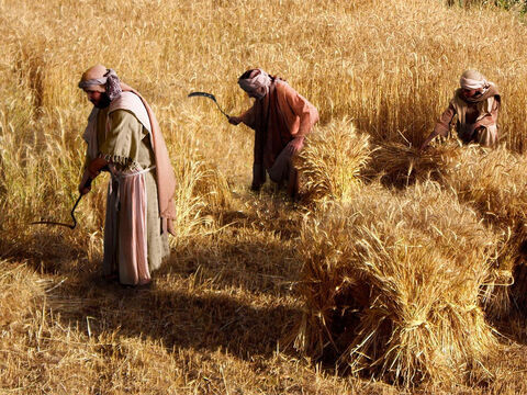 With the poisonous weeds gone, the labourers could then harvest the wheat crop. – Slide 14