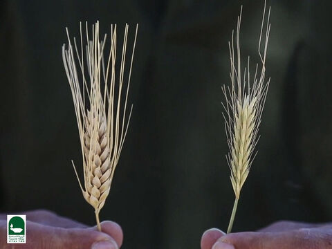 Here is a picture of wheat and tares near harvest time. Can you tell which is which? – Slide 18