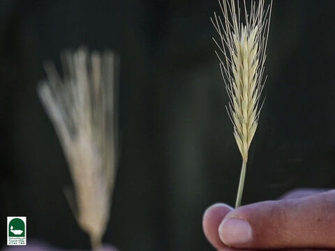This is a tare weed. The spikelets of a mature tare turn edgeways towards the stem whereas the wheat spikelets remain firm and upright. – Slide 19