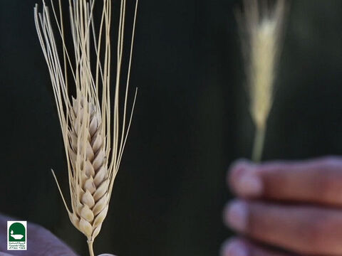 This is wheat. At harvest the ears on the real wheat are so heavy the entire plant droops down. The ears on the tares are lighter, with fewer seeds and the plant grows more upright. The tares grow slightly higher than the wheat. Wheat seeds ripen to a golden brown but tare seeds turn black. – Slide 20