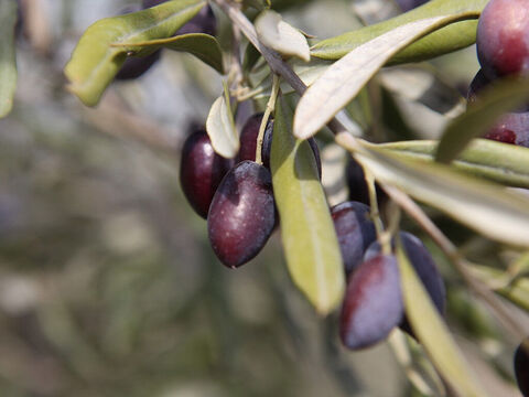 Writers of scripture often speak about the beauty of the olive (Jeremiah11:16, Hosea 14:6, Psalm 52:8). – Slide 3