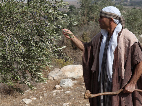 Olives can be harvested by beating the tree with sticks but this damages the tender shoots and restricts their growth the following year. Moses said, 'When you beat your olive tree don't go over the boughs again but leave what is left for the orphans and widows (Deuteronomy 24:20). – Slide 5