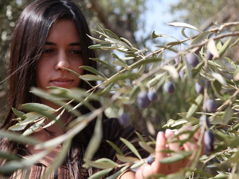 Olives are also hand picked. – Slide 6