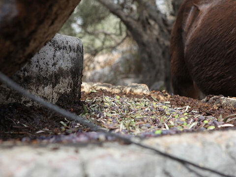 Freshly picked olives were put in front of the grinding wheel. – Slide 17