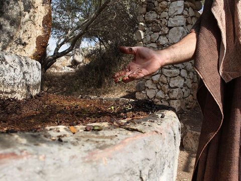 … and were crushed to pulp to extract the olive oil. – Slide 18