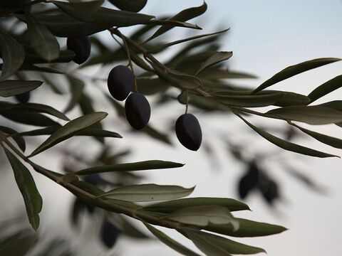 The olive tree has been used as a symbol of peace since the dove Noah sent out returned with an olive leaf (Genesis 8:11). Oil is also symbolically used as a picture of the Holy Spirit. (1 John 2:27). – Slide 30