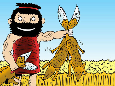 'This time I'm not going to be responsible for what I do to the Philistines!,'  Samson fumed. So he went and caught three hundred foxes. Two at a time, he tied their tails together and put torches in the knots. – Slide 3