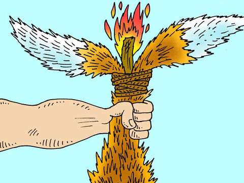 Then he set fire to the torches and turned the foxes loose in the Philistine wheat fields. – Slide 4
