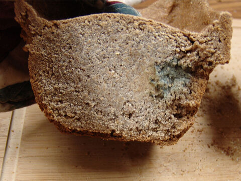 An example of a loaf that has turned moldy as a result of not having pure frankincense to protect it. Shelley suggests, 'The 'rims/horns' on the top of the loaves may well have the purpose of holding the frankincense so it would not roll off the bread.' – Slide 14