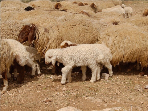Sheep were a very important part of life in Bible times and the word 'sheep' appears over 500 times in the Bible. Job had 14,000 sheep. Moses received over 600,000 sheep when he defeated the Midianites, and at the dedication of the Temple in the time of King Solomon 120,000 sheep and goats were sacrificed. – Slide 1