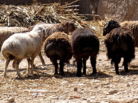 Fat-tailed sheep were the breed most valued (Exodus 29:22). Its tail, which can weigh 15-20 lbs, was considered prime eating. – Slide 2