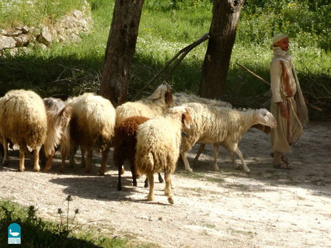 Sheep were very dependent on their shepherd for protection and leading them to good pasture and fresh water. A sheep without a shepherd was in grave danger (Numbers 27:17). – Slide 3