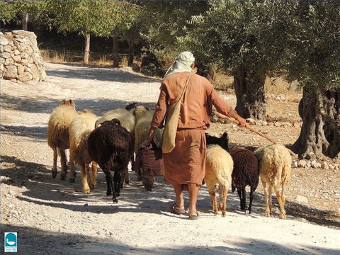 Ezekiel talks about the custom of sheep passing under a shepherd's rod as he counted them (Ezekiel 20:37). The tenth sheep passing under the rod was tithed for sacrifice (Leviticus 27:22). – Slide 7