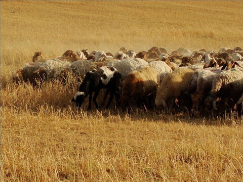 In the springtime in Israel there is plenty of green pasture, and sheep graze near the shepherd's home. After the grain harvest, once the poor had gleaned the fields, sheep could feed in them. – Slide 9