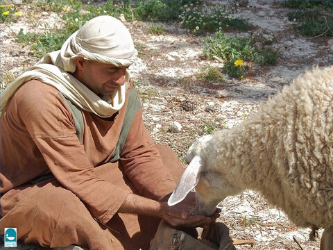 In the late autumn and winter, if the shepherd cannot find pasture, he has to feed the sheep himself. (Isaiah 4011, Micah 7:14). Sometimes shepherds cut down leafy branches for their flocks. – Slide 11