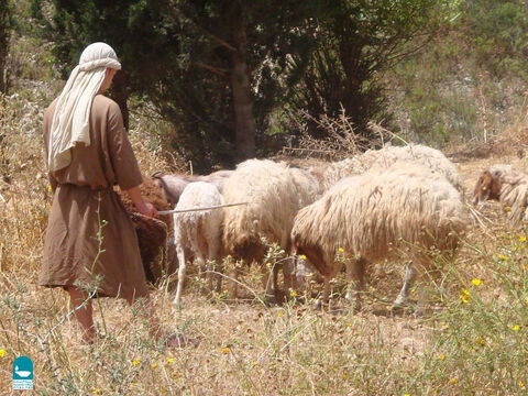Shepherds with over 150 sheep often hired others to help them but 'hirelings' were not known for caring for the sheep so well (John 10:12). – Slide 20