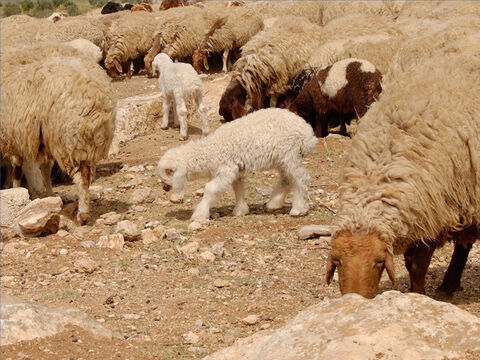 Sheep were used as a sacrifice for sin. A young male lamb was used as a thanksgiving offering or atonement for sin. The offering of an unblemished Passover lamb was the most important religious act of the year. – Slide 24