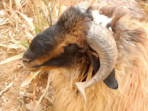 A ram's horn was of great value and used to carry liquids or made into trumpets called 'shofars'. – Slide 25