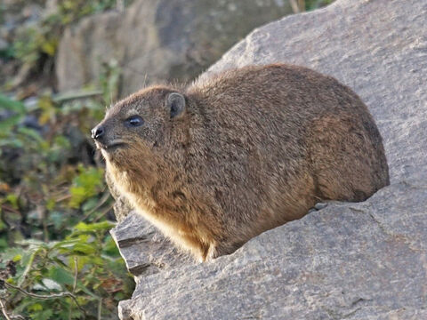 'Hyraxes are creatures … <br/>Picture credit: NeedPix. – Slide 7