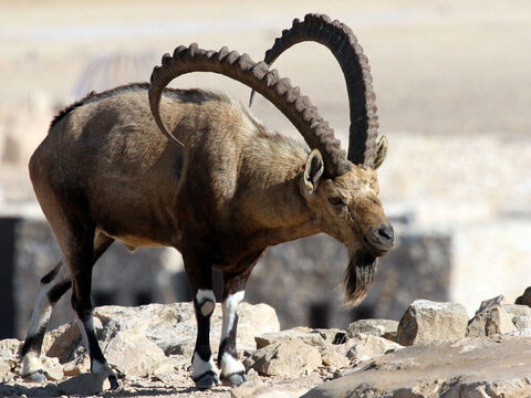 (thought to refer to a mountain goat or Ibex with a steady stride on steep narrow slopes). <br/>Picture credit: Greg Schechter. – Slide 11