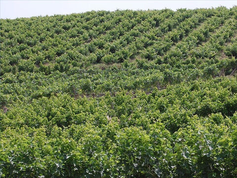 Although vineyards were planted throughout Israel, it was customary for hillsides to be used. It was in a very 'fruitful hill' that Isaiah's parable of the vineyard was set. – Slide 4