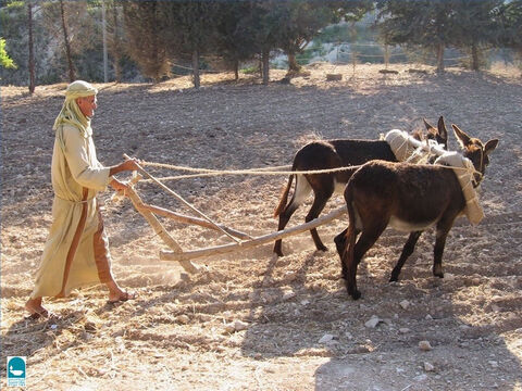 The ploughman carried a long stick called a goad. It had a sharp point at one end to prod slow-moving animals into action. Christ said to Saul: it is 'hard to kick against the goad' (Acts 26:14). – Slide 5