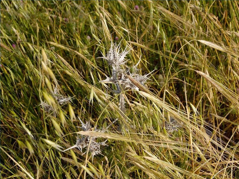 The barley was first to ripen. Sometimes thorns or tares appeared in the crop. Tares look like wheat but the grains are black and taste very bitter. Jesus told a parable about wheat and tares (Matthew 13:25). – Slide 9