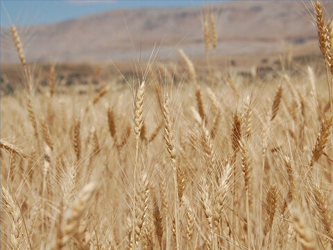 Barley was harvested in April and May. – Slide 10