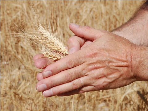 When the crop has hardened, it was delicious to eat raw. People would pluck the heads and rub them in their hands to get the grain. – Slide 12