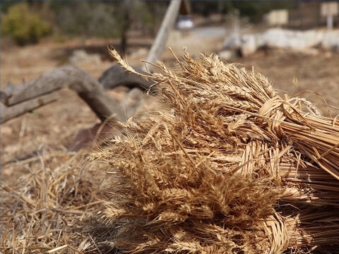 The cut grain was then gathered and tied into sheaves (Genesis 37:7). – Slide 15