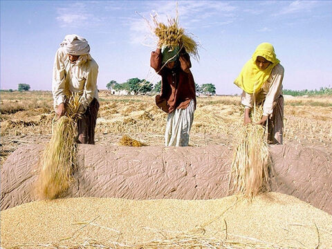 One method of threshing the grain from the stalk was to use a wooden flail or to beat the stalks against a rock. Ruth and Gideon used such methods (Ruth 2:17, Judges 6:11). – Slide 18