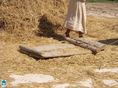 The threshing board is pulled by animals over the grain. The animal hooves also threshed the grain. – Slide 21