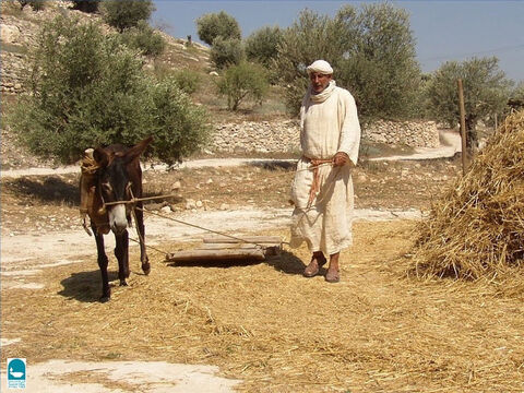 The Bible talks about not muzzling an animal when it treads the grain (Deuteronomy 25:4). A threshing board not only separated the grain head but crushed the straw, making it ready to be served as cattle food. – Slide 22